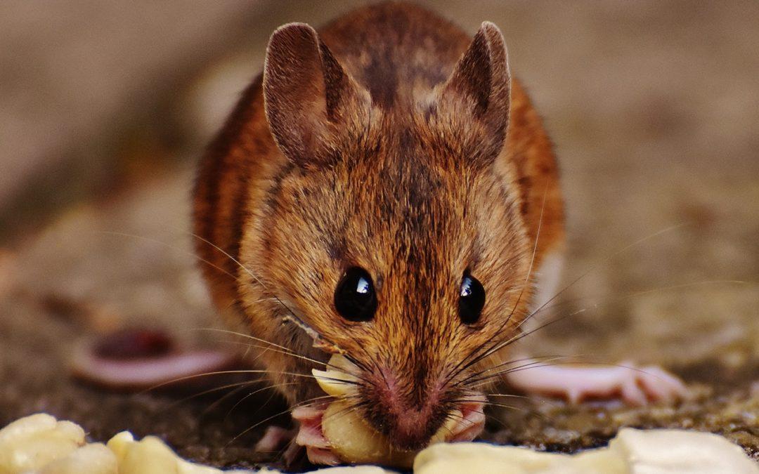 Tłuste myszy a innowacje